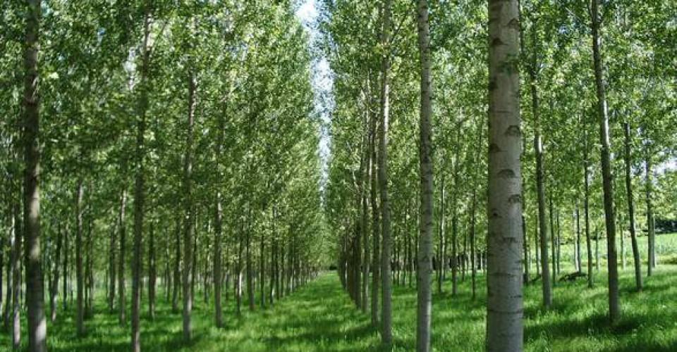 Contributi per l'impianto dei pioppeti e per l'imboschimento