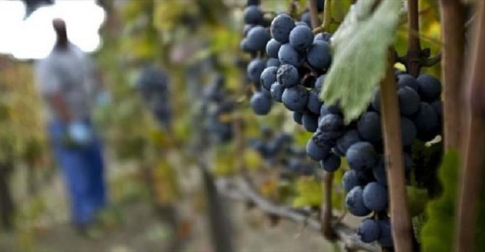 Valori delle uve stabili o in leggero calo per via della produzione in aumento