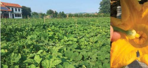 A sinistra: le coltivazioni di Stefano Musso in un momento di massimo rigoglio. A destra: l'impollinazione manuale delle zucche