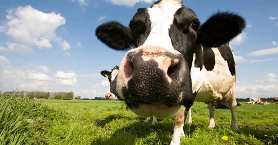 """Bovini da carne: domande per l'aiuto del """"Fondo emergenziale"""" entro il 16 settembre"""