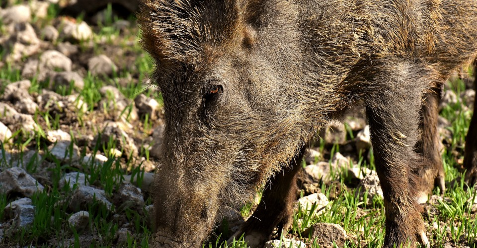 """Fauna selvatica: """"Il suo proliferare è ormai una questione di sicurezza pubblica"""""""