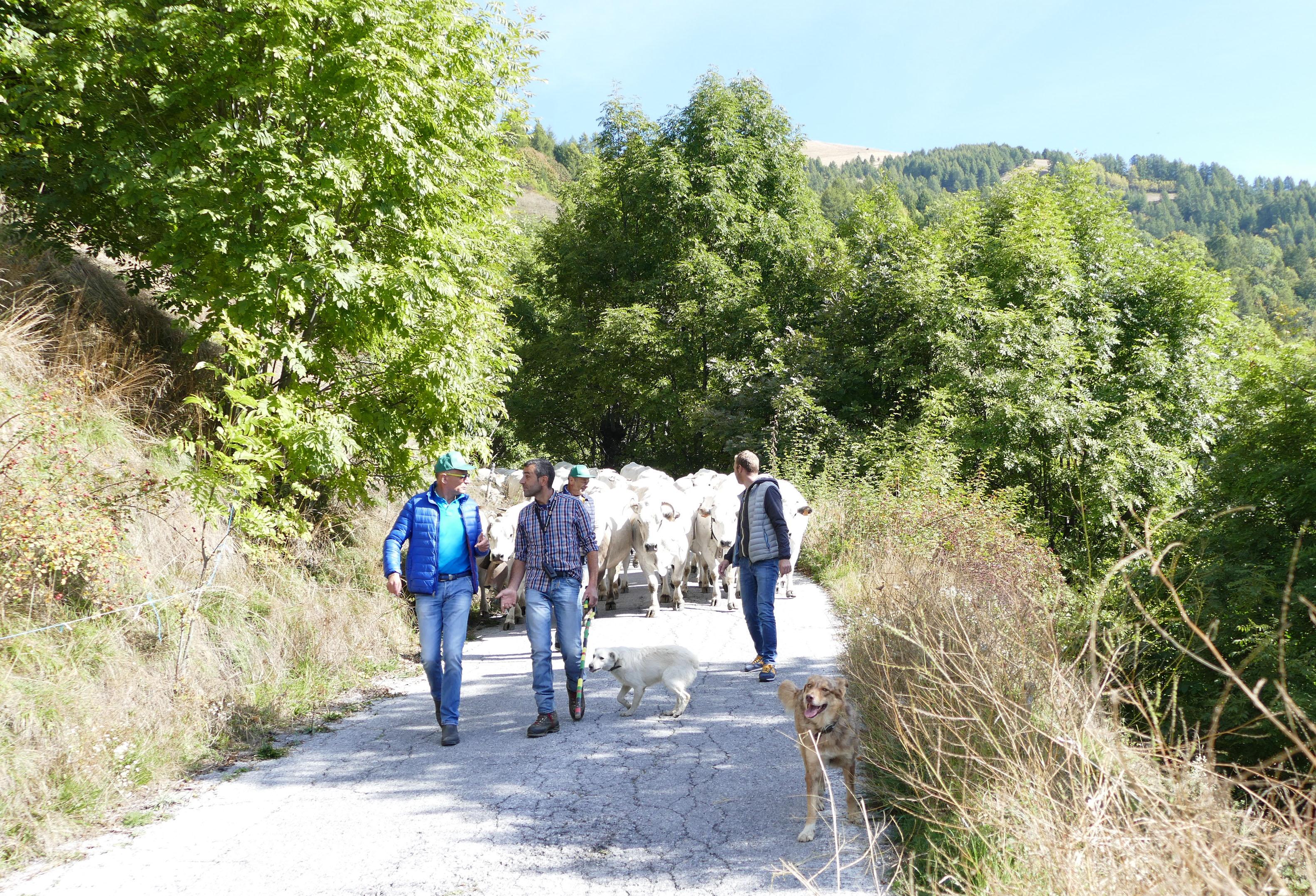 La mandria di Diego Mustat che rientra a valle dopo la stagione in alpeggio