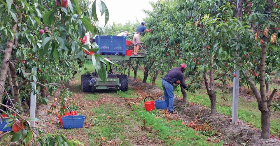 Sulla raccolta della frutta nel Saluzzese l'incognita delle problematiche sanitarie e sociali, oltre alle difficoltà del momento