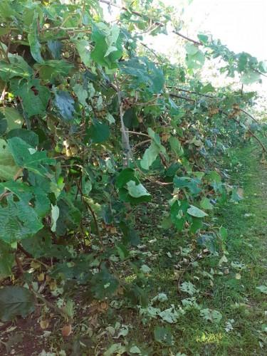 Danni da grandine alle pianti di kiwi